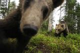 Eurasian Brown Bear (Ursus Arctos) Close Up of Nose While Investigates Remote Camera, Finland Reproduction photographique par  Widstrand
