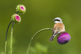 Red-Backed Shrike Male (Lanius Collurio) Male Perched on Musk Thistle (Carduus Nutans) Bulgaria Reproduction photographique par  Nill
