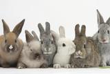 Six Baby Rabbits Fotografisk trykk av Mark Taylor