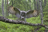 Great Grey Owl (Strix Nebulosa) Landing on Branch, Oulu, Finland, June 2008 Fotoprint van  Cairns