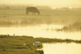 Avocet (Recurvirostra Avosetta) in Mist at Dawn with Cattle Grazing, Thames Estuary, Kent, UK Reproduction photographique par Terry Whittaker