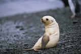 Antarctic Fur Seal Pup Stampa fotografica di Paul Souders
