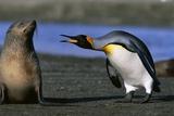 King Penguin Confronting Unconcerned Fur Seal Fotografisk tryk af Paul Souders