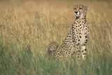 Cheetah with Cubs in Tall Grass Stampa fotografica di Paul Souders