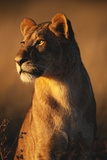 Female Lion Fotografisk tryk af Paul Souders