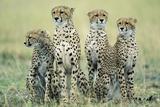 Four Cheetahs Fotografisk tryk af Paul Souders