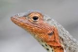 Close-Up of Lava Lizard Fotografisk tryk af Paul Souders