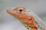 Close-Up of Lava Lizard Photographic Print by Paul Souders