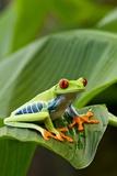 Red Eyed Tree Frog, Costa Rica Fotografisk trykk av Paul Souders