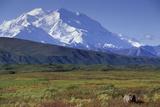 Grizzly Bear Feeding on Tundra Below Mt. Mckinley Valokuvavedos tekijänä Paul Souders