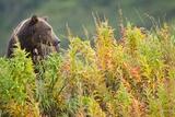Brown Bear, Katmai National Park, Alaska Fotografie-Druck von Paul Souders