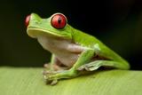 Red Eyed Tree Frog, Costa Rica Lámina fotográfica por Paul Souders