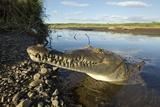 American Crocodile, Costa Rica Fotografisk tryk af Paul Souders