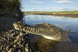 American Crocodile, Costa Rica Photographic Print by Paul Souders