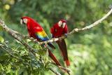 Scarlet Macaws, Costa Rica Fotografisk tryk af Paul Souders