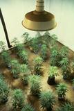 Marijuana Plants under Grow Light Impressão fotográfica por Roger Ressmeyer