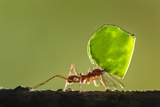 Leafcutter Ant, Costa Rica Photographic Print by Paul Souders