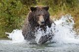 Brown Bear, Katmai National Park, Alaska Fotografisk tryk af Paul Souders