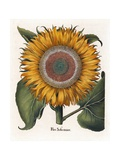 Common Sunflower Giclée-Druck