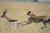 Cheetah Chasing Thomson's Gazelle Photographic Print by Paul Souders