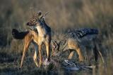 Blackbacked Jackals Eating Gazelle Lámina fotográfica por Paul Souders