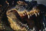 Nile Crocodile with Open Mouth Fotografie-Druck von Paul Souders