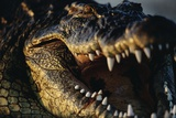 Nile Crocodile with Open Mouth Photographic Print by Paul Souders