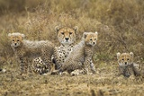 Cheetah Cubs and their Mother Fotografie-Druck von Paul Souders