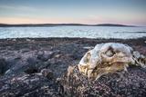 Polar Bear Skull, Hudson Bay, Nunavut, Canada Photographic Print by Paul Souders