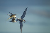 Arctic Terns, Hudson Bay, Canada Reproduction photographique par Paul Souders