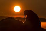 Walrus, Hudson Bay, Nunavut, Canada Lámina fotográfica por Paul Souders