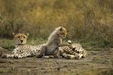 Cheetah Cub and Mother Fotografisk trykk av Paul Souders