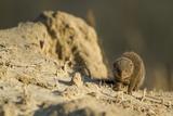 Dwarf Mongoose, Chobe National Park, Botswana Lámina fotográfica por Paul Souders