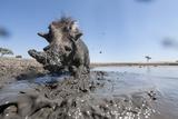 Warthog in Mud Hole, Chobe National Park, Botswana Lámina fotográfica por Paul Souders