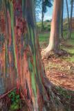 Rainbow Eucalyptus Grove, Kauai Fotografisk trykk av Vincent James