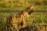 Aardwolf, Ngorongoro Conservation Area, Tanzania Lámina fotográfica por Paul Souders