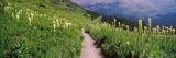 Hiking Trail with Beargrass (Xerophyllum Tenax) at Us Glacier National Park, Montana, USA Fotografisk trykk