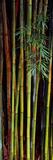 Close-Up of Bamboos, Kanapaha Botanical Gardens, Gainesville, Florida, USA Photographic Print