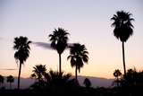 Silhouette of Palm Trees at Dusk, Palm Springs, Riverside County, California, USA Fotografisk tryk af Green Light Collection