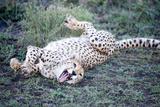Cheetah (Acinonyx Jubatus) Resting in a Forest, Ndutu, Ngorongoro, Tanzania Lámina fotográfica