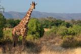 Giraffe Walking across Plain, Kenya Lámina fotográfica