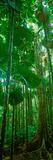 Fan Palm Trees in a Forest, Daintree National Park, Queensland, Australia Fotografie-Druck