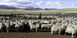 Flock of Sheep in a Farm with Mountains in the Background, Estancia Punta Del Monte Photographic Print