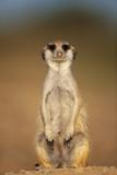 Meerkat Sitting Upright Lámina fotográfica