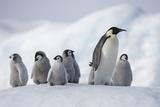 Emperor Penguins in Antarctica Fotografisk tryk