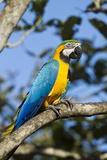 Green Macaw, Costa Rica Lámina fotográfica