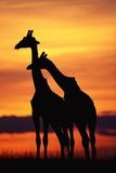 Giraffes Silhouettes at Sunset Fotografisk tryk
