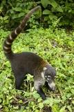 Coati, Costa Rica Lámina fotográfica