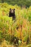 Brown Bear, Katmai National Park, Alaska Stampa fotografica