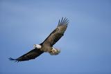 Bald Eagle in Flight Lámina fotográfica